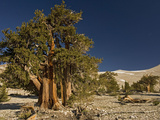 Bristlecone Pine Trees Photographic Print