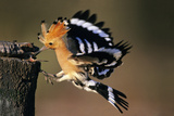 Hoopoe Bird Feeding Young in Flight Reproduction photographique