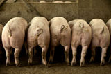 Large White Pigs Rear View, Lined Up in Pen Fotografisk tryk