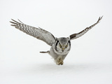 Hawk Owl in Flight over Snow Reproduction photographique