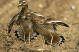 Stone-Curlews Aggressive Display with Wings Outstretched Reproduction photographique