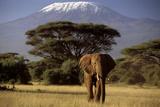 Afrikanischer Elefant Fotografie-Druck