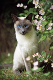Blue Point Siamese Sitting in Garden Fotografie-Druck