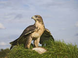 Common Buzzard with Prey Reproduction photographique