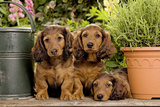 Teckel Dog Three Puppies Reproduction photographique