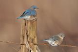Eastern Bluebird Male and Female in Winter Lámina fotográfica