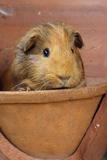 Guinea Pig in Terracotta Flower Pot Fotografie-Druck