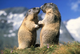 Alpine Marmots X2 Facing Each Other Fotografisk tryk