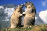 Alpine Marmots X2 Facing Each Other Fotografie-Druck