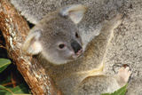 Koala Young, Clinging to Mother's Fur Fotografie-Druck