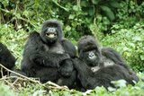 Mountain Gorillas X Two Females 'Murraha' and 'Poppy' Fotografisk tryk af Adrian Warren
