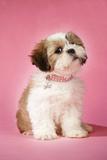 Shih Tzu 10 Week Old Puppy with Collar Fotografisk tryk
