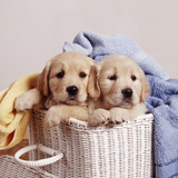 Golden Retriever Dog Two Puppies in Laundry Basket Fotografisk tryk