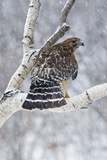 Red-Shouldered Hawk Adult Bird in Snowstorm Reproduction photographique