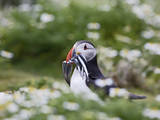 Puffin with Sand Eels Fotografisk tryk