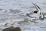 Oystercatcher Landing on Rock Reproduction photographique
