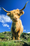 Cattle, Highland Cow Photographic Print