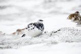 Rock Ptarmigan Male in Snow Reproduction photographique
