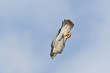 Peregrine Falcon Adult in Flight Reproduction photographique