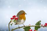 Robin on Holly in Snow Valokuvavedos