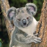 Koala Young Close-Up Fotografie-Druck