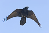 Common Raven in Flight Reproduction photographique