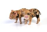 Pig 1 Week Old Kune Kune Piglets Fotografie-Druck
