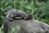 Lowland Gorilla Baby on Mothers Back Fotografie-Druck