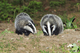 Badger 2 Young Animals Beside Sett Photographic Print