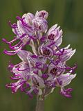 Monkey Orchid, UK Rarity Photographic Print