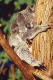 Koala Asleep in Tree Lámina fotográfica