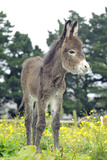 Donkey, Baby 5 Days Old Fotografisk tryk