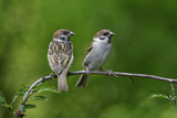Tree Sparrow Pair on Branch Reproduction photographique