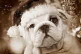 English Bulldog Close-Up of Face Fotografisk tryk