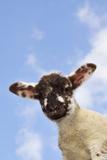 Sheep Lamb Against Blue Sky Reproduction photographique