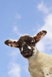 Sheep Lamb Against Blue Sky Photographic Print