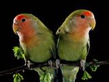 Peach-Faced Lovebirds Two Fotografisk tryk