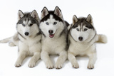 Husky Fotoprint