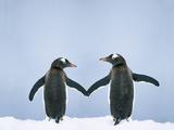 Gentoo Penguin Pair 'Holding Hands' Fotografie-Druck