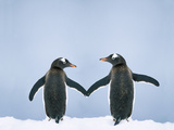Gentoo Penguin Pair 'Holding Hands' Photographic Print
