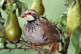 Partridge in a Pear Tree Reproduction photographique