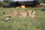 Cheetah Running Lámina fotográfica