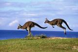 Eastern Grey Kangaroo Two Animals Hopping Fotografisk tryk