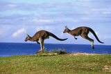 Eastern Grey Kangaroo Two Animals Hopping Photographic Print