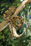Royal Ball Python Photographic Print