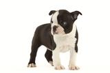 Boston Terrier Puppy in Studio Fotografisk tryk