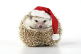 Hedgehog Wearing Christmas Hat Lámina fotográfica