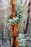 Regrow on Gum Trees after Bush Fire Fotografie-Druck