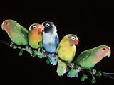 Lovebirds X Five on Branch Stampa fotografica