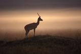 Thomson's Gazelle Impressão fotográfica